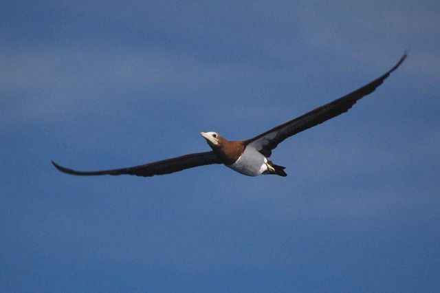 Juvenile brown booby in flight. Picture