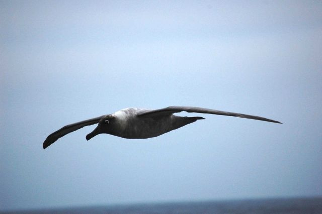 Light-mantled sooty albatross. Picture