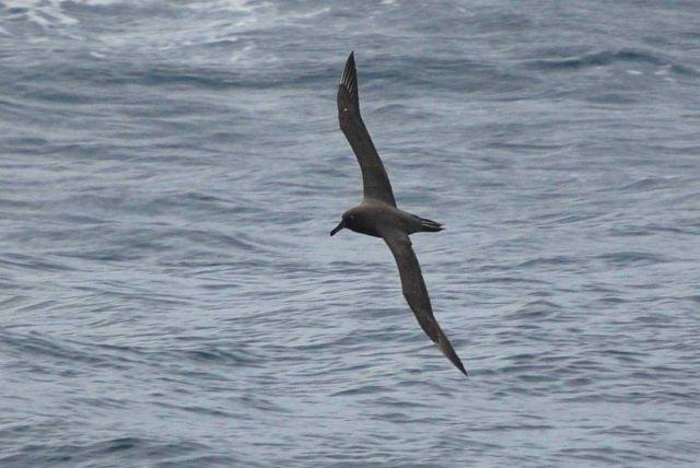 Sooty albatross. Picture