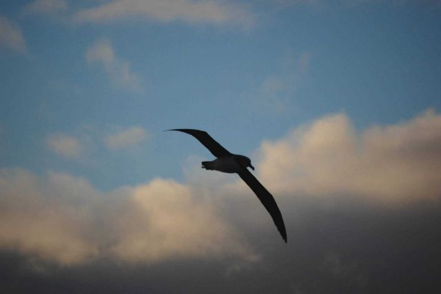 Grey-headed albatross. Picture