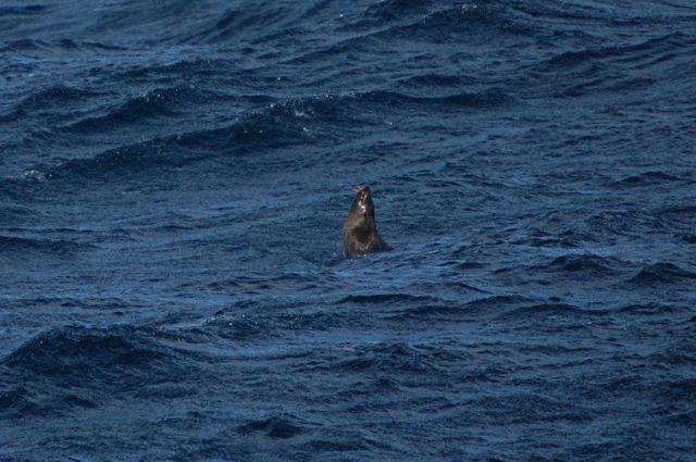 Jumping Antarctic fur seals. Picture