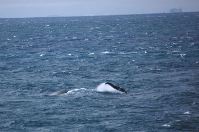 Humpback whales. Picture