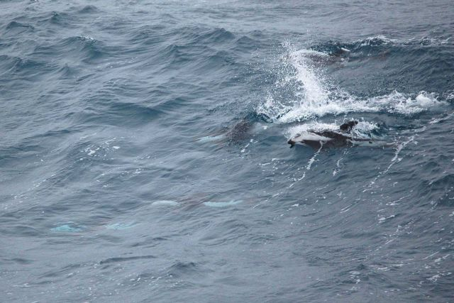 Hourglass dolphins. Picture