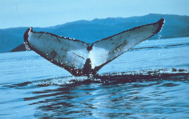 Humpback whale's - Megaptera novaeangliae - tail - distinctive markings allow identification of an individual. Picture