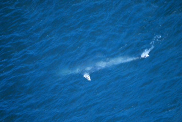 Aerial view of a gray whale - Eschrichtius robustus. Picture