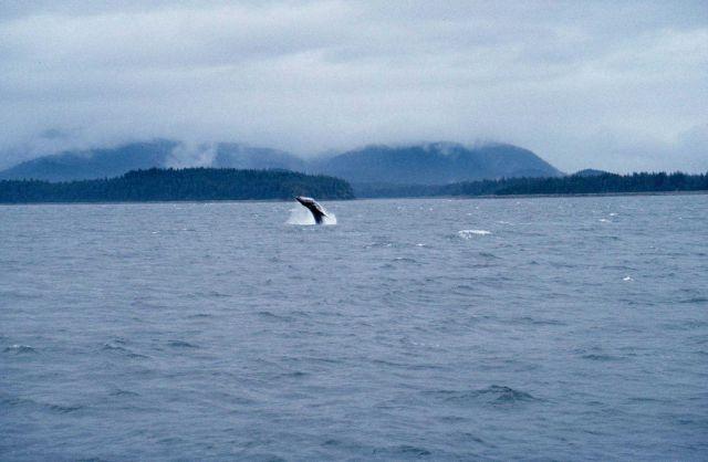 Humpback - Megaptera novaeangliae - breaching. Picture