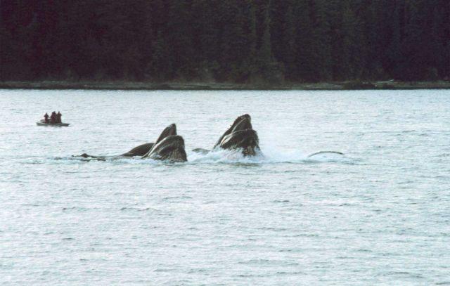 Humpbacks feeding on krill Picture