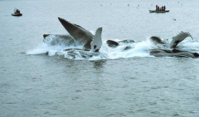 Humpbacks - Megaptera novaeangliae - feeding on krill Picture