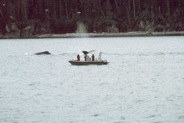 Marine mammal observers watching humpback whales - Megaptera novaeangliae. Picture