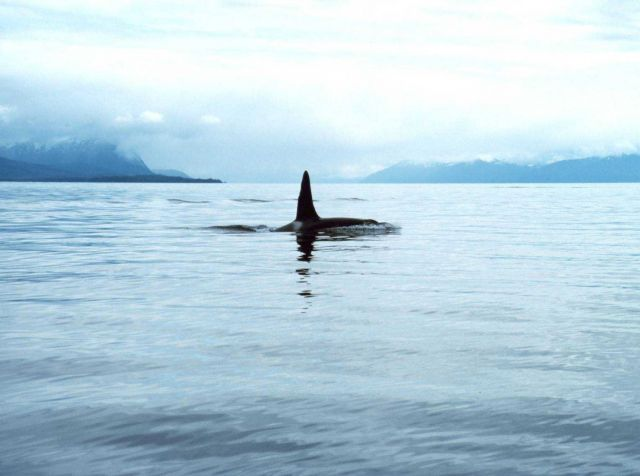 A large male killer whale - Orcinus orca. Picture