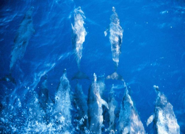 Pantropical spotted dolphin swimming ahead of the NOAA Ship RUDE Stenella attenuata. Picture