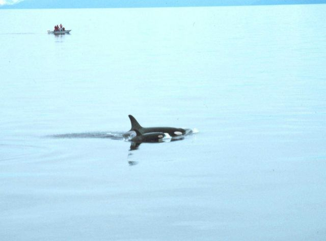Marine mammal observers watching mother killer whale and calf - Orcinus orca. Picture