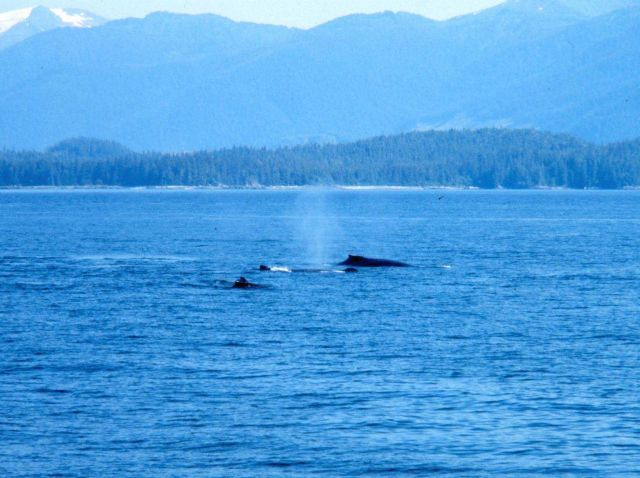 Notice vertical blow of center whale - Humpback whale -Megaptera novaeangliae. Picture
