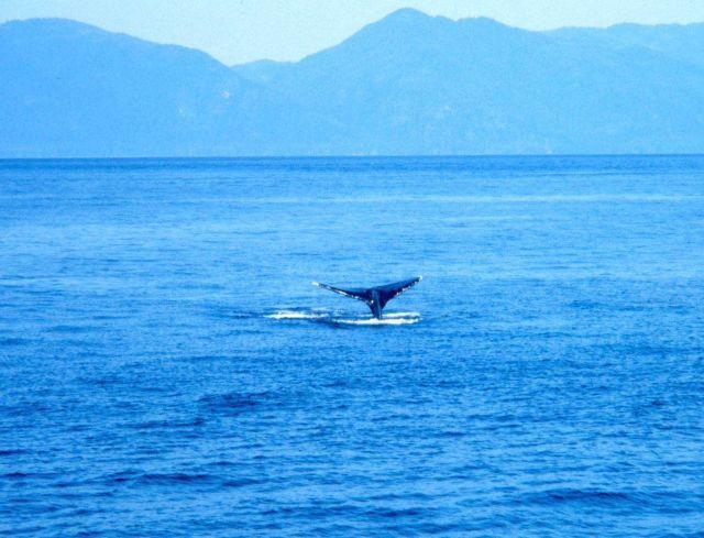 Humpback whale -Megaptera novaeangliae - tail. Picture