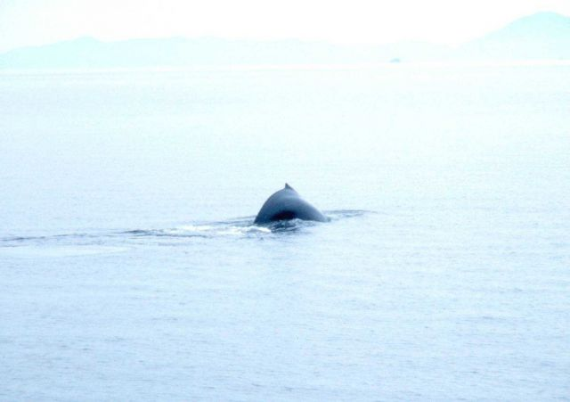Back of humpback whale -Megaptera novaeangliae. Picture