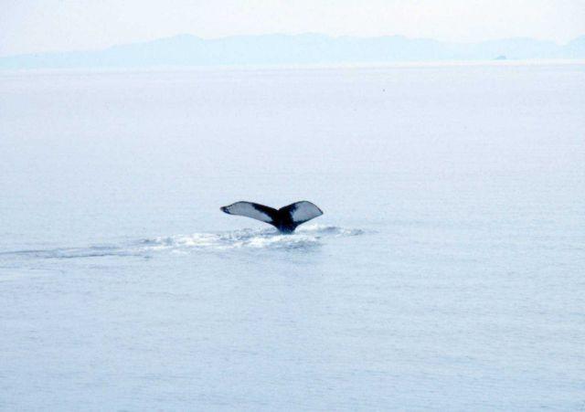 A humpback whale - Megaptera novaeangliae- tail. Picture