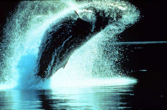 Humpback whale - Megaptera novaeangliae - breaching. Picture
