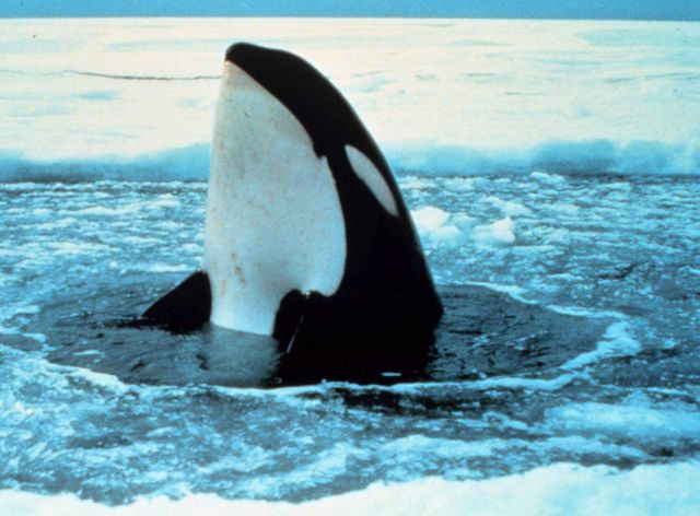 Killer whale - Orcinus orca - spy-hopping in the ice. Picture
