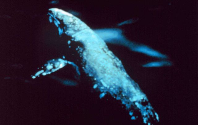 Gray whale -Aerial view of a gray whale - Eschrichtius robustus. Picture