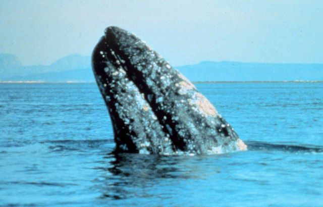 Gray whale - Eschrichtius robustus - at Scammons Lagoon. Picture