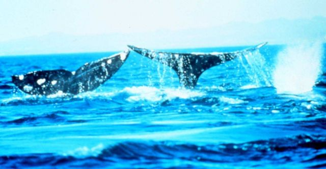 Every whale's tail looks different and has different markings. Picture