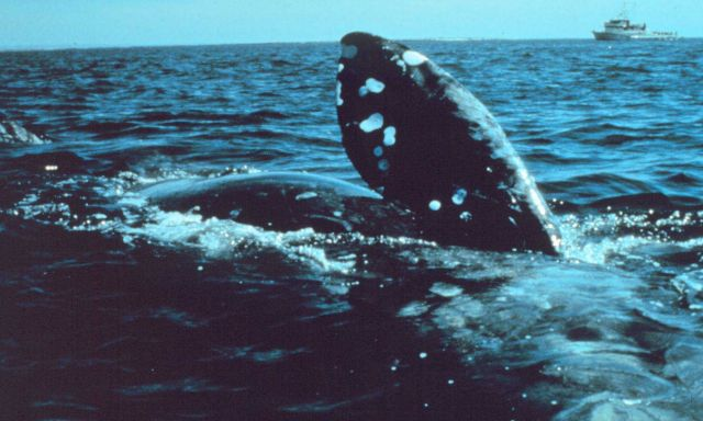 North Atlantic Right Whale off New England coast. Picture