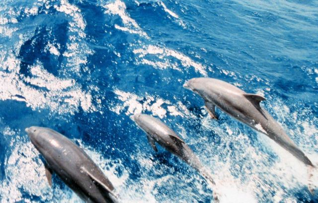 Dolphin in the bow wave of the NOAA Ship RUDE. Picture
