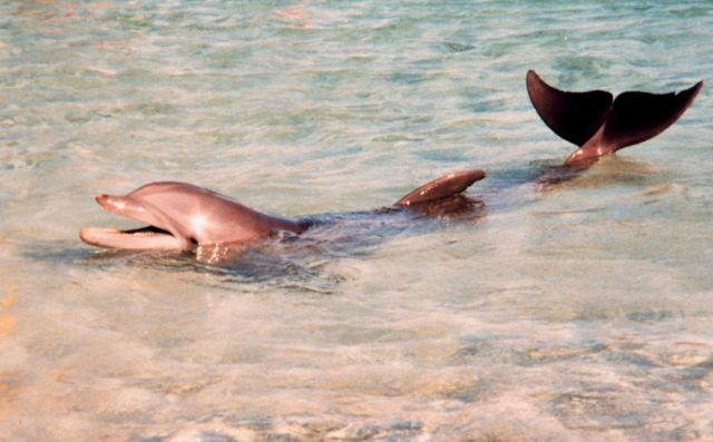 Tame dolphin at tourist facility. Picture