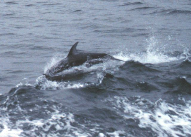 Dolphin riding in the bow wave of the NOAA Ship FERREL. Picture