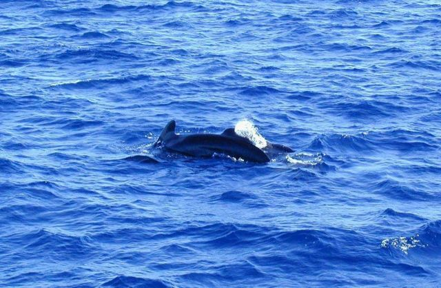 Pilot whales. Picture