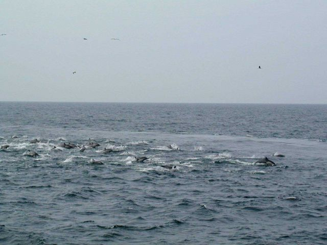 A pod of dolphin with birds overhead. Picture