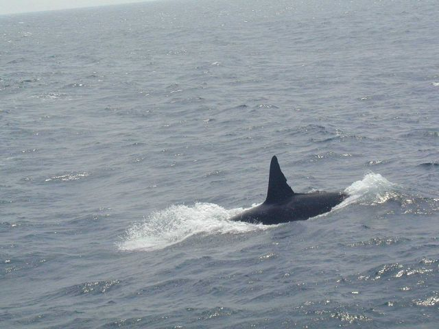 Killer whale. Picture