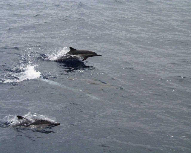 Dolphin (Delphinus sp.) Picture