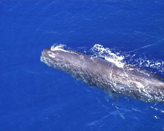 Gray whale. Picture