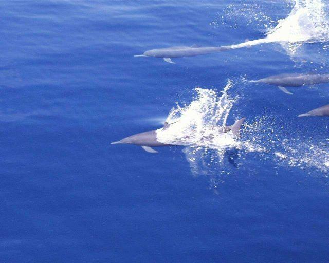 Dolphin (Stenella sp.) Picture