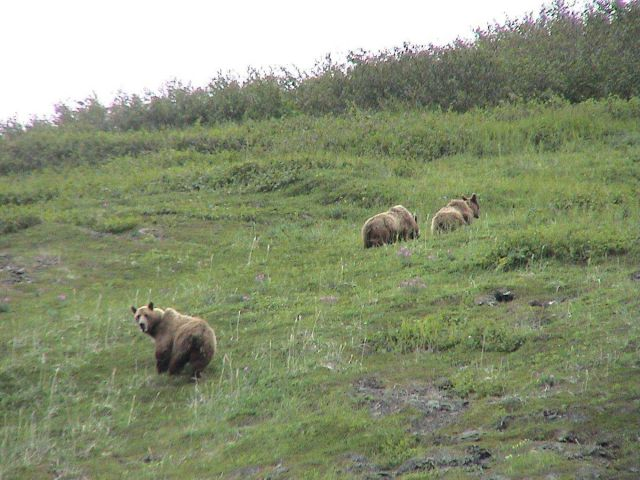 Alaska Brown Bears. Picture