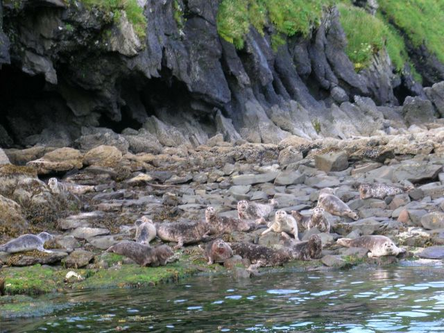 Harbor seals (Phoca vitulina). Picture