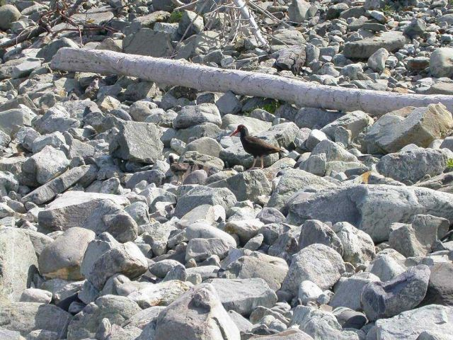 Black oystercatcher (Haematopus bachmani) . Picture