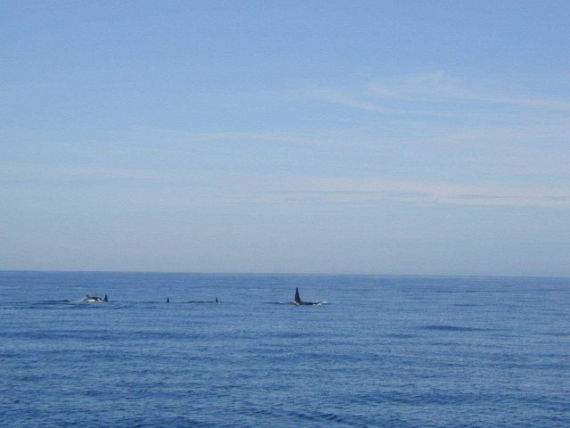 A pod of killer whales (Orcinus orca) . Picture