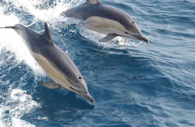 Common dolphin (Delphinus sp.) Picture