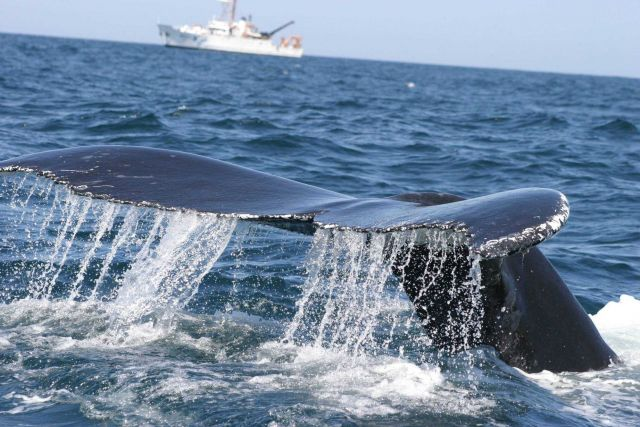 Humpback whale with NOAA Ship DELAWARE II in background. Picture