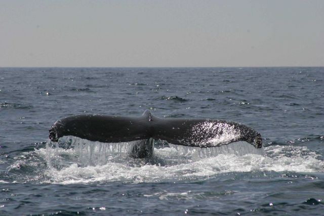 Humpback whale flukes - used to identify individuals of this species. Picture