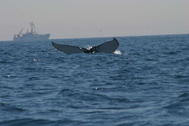 Humpback whale flukes - used to identify individuals of this species Picture