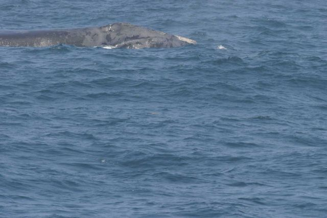 Pilot whale. Picture
