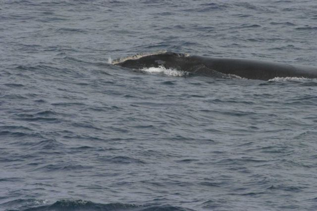 North Atlantic right whale. Picture