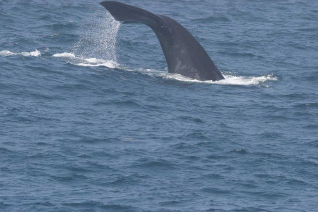 North Atlantic right whale flukes as seen when diving. Picture