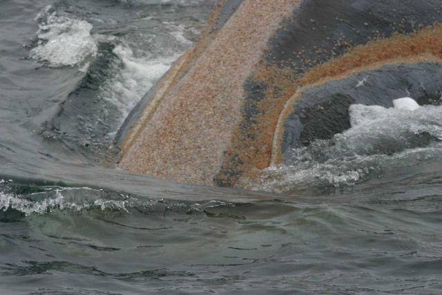 Orange whale lice on a right whale. Picture