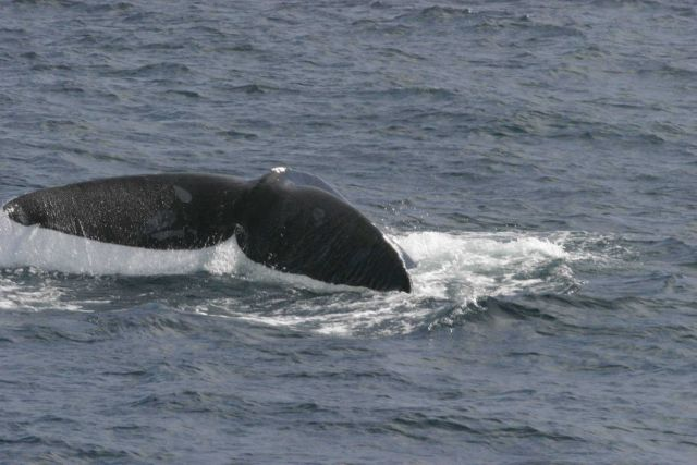 North Atlantic right whale flukes. Picture