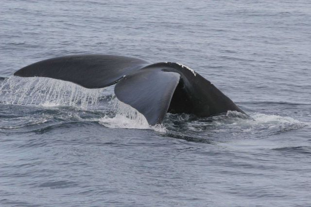 Whale flukes. Picture