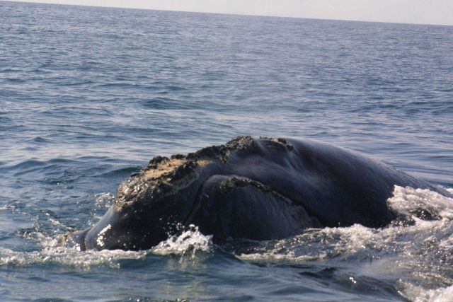 Gnarly-headed right whale. Picture